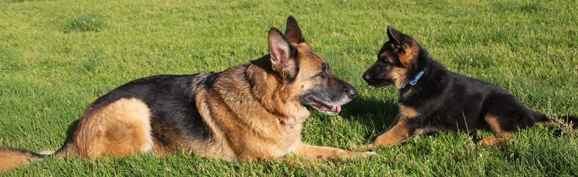 Home - German Shepherd Dog Club of Victoria