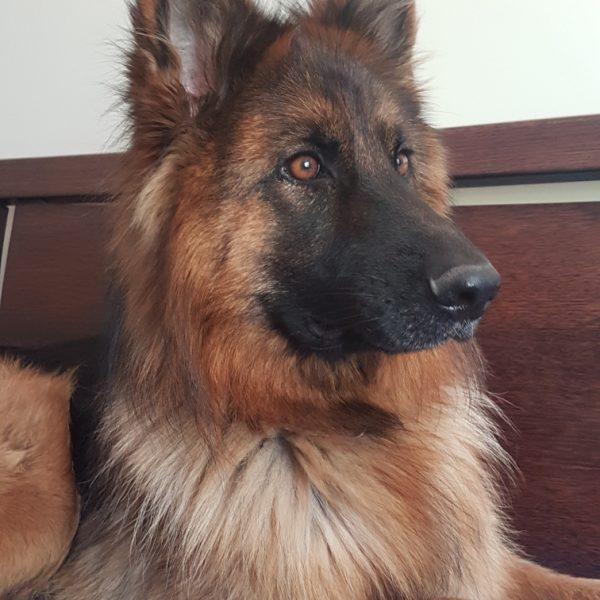 Rehoming - German Shepherd Dog Club of Victoria